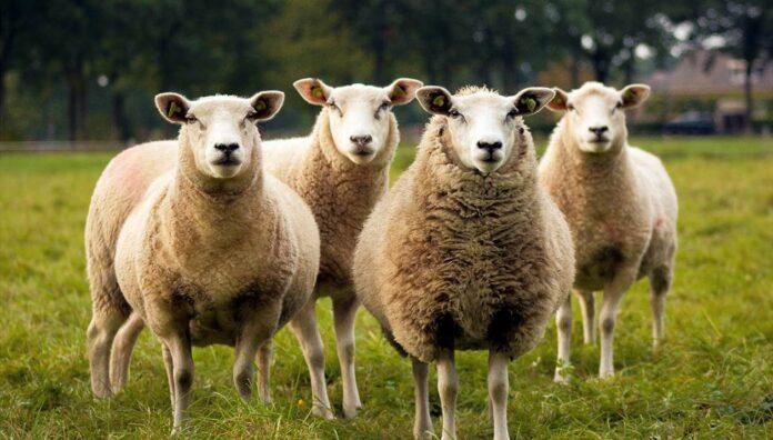 24 εκατομμύρια ευρώ αποζημιώσεις στους κτηνοτρόφους λόγω κορωνοϊού
