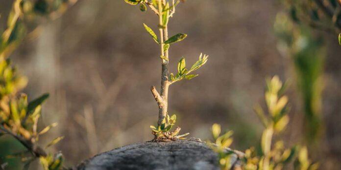 εμβολιασμό ( Κέντρωμα ) καρποφόρων δέντρων