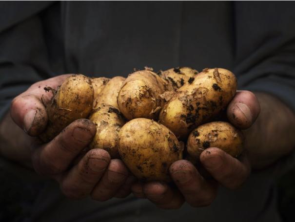 Η απορρόφηση της πρώιμης υπαίθριας ανοιξιάτικης πατάτας στην Πελοπόννησο γίνεται με αργούς ρυθμούς.
